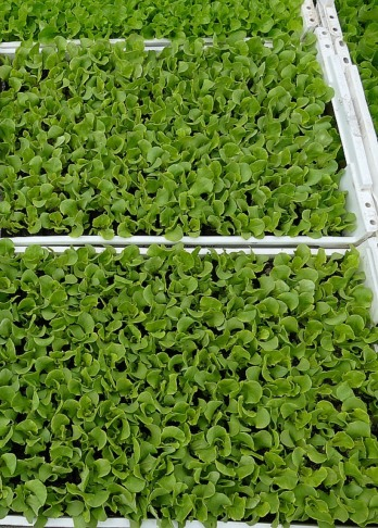 gemuesepflanzen